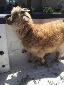 Golden Pygora Goat