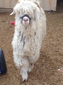 Hanzel is truly a gentle giant. He is a super cool Angora and grows great mohair for spinning!